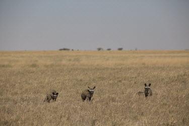 Bat-eared fox - Botswana, Africa Terrestrial,ground,Grassland,savannahs,savana,savannas,shrubland,savannah,Savanna,environment,ecosystem,Habitat,Plains,plain,Bat-eared fox,Otocyon megalotis,Mammalia,Mammals,Dog, Coyote, Wolf, Fox,Can