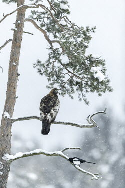 Golden eagle - Sweden forests,Forest,wintery,cold,Winter,snowy,Snow,environment,ecosystem,Habitat,evergreen,Evergreen forest,Terrestrial,ground,chilly,Cold,eagle,raptor,bird of prey,bird,birds,Golden eagle,Aquila chrysaeto