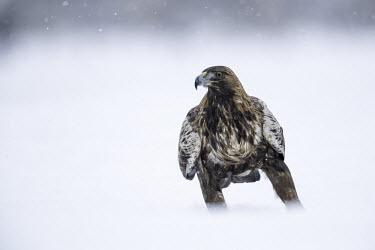Golden eagle - Sweden White background,wintery,cold,Winter,forests,Forest,Terrestrial,ground,evergreen,Evergreen forest,snowy,Snow,chilly,Cold,snow,Snowy background,environment,ecosystem,Habitat,eagle,raptor,bird of prey,b