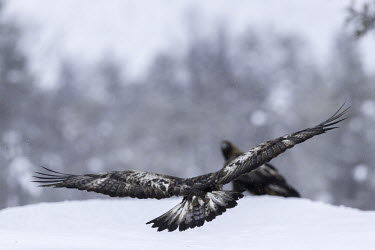 Golden eagle - Sweden Terrestrial,ground,snowy,Snow,forests,Forest,wintery,cold,Winter,environment,ecosystem,Habitat,chilly,Cold,evergreen,Evergreen forest,eagle,raptor,bird of prey,bird,birds,Golden eagle,Aquila chrysaeto
