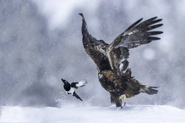 Golden eagle - Sweden wintery,cold,Winter,environment,ecosystem,Habitat,forests,Forest,chilly,Cold,evergreen,Evergreen forest,Terrestrial,ground,snowy,Snow,eagle,raptor,bird of prey,bird,birds,Golden eagle,Aquila chrysaeto