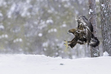 Golden eagle - Sweden wintery,cold,Winter,snowy,Snow,chilly,Cold,forests,Forest,Terrestrial,ground,evergreen,Evergreen forest,environment,ecosystem,Habitat,eagle,raptor,bird of prey,bird,birds,Golden eagle,Aquila chrysaeto