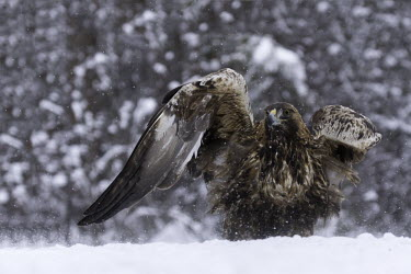 Golden eagle - Sweden forests,Forest,Terrestrial,ground,chilly,Cold,evergreen,Evergreen forest,wintery,cold,Winter,snowy,Snow,environment,ecosystem,Habitat,eagle,raptor,bird of prey,bird,birds,Golden eagle,Aquila chrysaeto