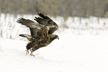 Golden eagle - Sweden environment,ecosystem,Habitat,forests,Forest,chilly,Cold,snowy,Snow,evergreen,Evergreen forest,wintery,cold,Winter,Terrestrial,ground,eagle,raptor,bird of prey,bird,birds,Golden eagle,Aquila chrysaeto