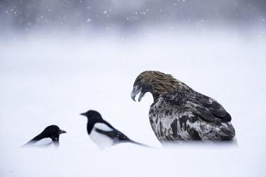 Golden eagle - Sweden wintery,cold,Winter,evergreen,Evergreen forest,forests,Forest,chilly,Cold,White background,Terrestrial,ground,snowy,Snow,snow,Snowy background,environment,ecosystem,Habitat,eagle,raptor,bird of prey,b