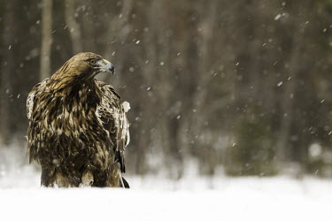 Golden eagle - Sweden Terrestrial,ground,environment,ecosystem,Habitat,evergreen,Evergreen forest,forests,Forest,wintery,cold,Winter,snowy,Snow,chilly,Cold,eagle,raptor,bird of prey,bird,birds,Golden eagle,Aquila chrysaeto