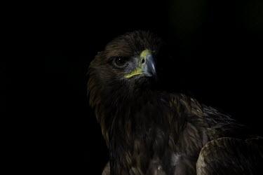 Golden eagle - Sweden Black background,Negative space,eagle,raptor,bird of prey,bird,birds,Golden eagle,Aquila chrysaetos,Ciconiiformes,Herons Ibises Storks and Vultures,Aves,Birds,Accipitridae,Hawks, Eagles, Kites, Harrie