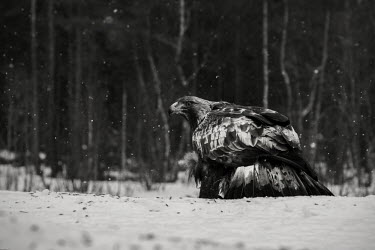 Golden eagle - Sweden environment,ecosystem,Habitat,colours,color,colors,Colour,wintery,cold,Winter,evergreen,Evergreen forest,Black and White,black + white,monochrome,black & white,forests,Forest,snowy,Snow,chilly,Cold,co