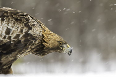 Golden eagle - Sweden Terrestrial,ground,environment,ecosystem,Habitat,wintery,cold,Winter,snowy,Snow,evergreen,Evergreen forest,forests,Forest,chilly,Cold,eagle,raptor,bird of prey,bird,birds,Golden eagle,Aquila chrysaeto