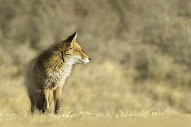 Red fox - Netherlands colours,color,colors,Colour,Black and White,black + white,monochrome,black & white,coloration,Colouration,blur,selective focus,blurry,depth of field,Shallow focus,blurred,soft focus,fox,Red fox,Vulpes