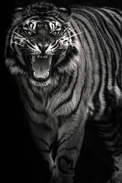 Bengal tiger - India fierce,scary,patterns,patterned,Pattern,coloration,Colouration,Black and White,black + white,monochrome,black & white,Portrait,face picture,face shot,stripe,Stripes,stripy,striped,blur,selective focus