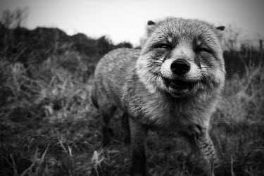 Red fox - Netherlands Close up,funny,humourous,lol,entertaining,humour,grinning,smiles,smiling,grin,Smile,smiley,coloration,Colouration,Portrait,face picture,face shot,Happy,joyful,colours,color,colors,Colour,Black and Whi