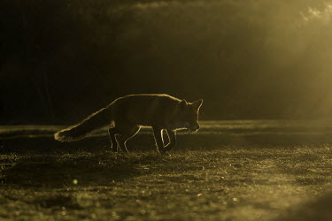 Red fox - Netherlands outline,silhouetted,shadow,Silhouette,shadows,silhouettes,fox,Red fox,Vulpes vulpes,Chordates,Chordata,Mammalia,Mammals,Carnivores,Carnivora,Dog, Coyote, Wolf, Fox,Canidae,Renard Roux,Zorro Rojo,ZORRO