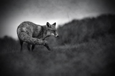 Red fox - Netherlands Black and White,black + white,monochrome,black & white,colours,color,colors,Colour,blur,selective focus,blurry,depth of field,Shallow focus,blurred,soft focus,coloration,Colouration,fox,Red fox,Vulpes