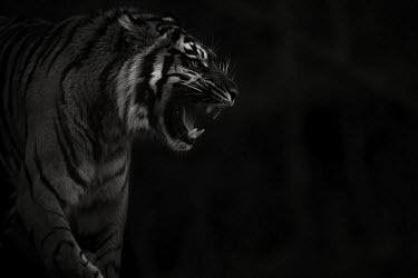 Bengal tiger - India stripe,Stripes,stripy,striped,Black and White,black + white,monochrome,black & white,Portrait,face picture,face shot,coloration,Colouration,colours,color,colors,Colour,blur,selective focus,blurry,dept