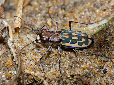Tiger beetle - South Africa Macro,macrophotography,Terrestrial,ground,coloration,Colouration,bright colour,bright,Colourful,brightly coloured,colorful,bright colours,exoskeleton,Close up,colours,color,colors,Colour,environment,e