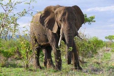 African elephant - South Africa African elephant,Loxodonta africana,Elephants,Elephantidae,Chordates,Chordata,Elephants, Mammoths, Mastodons,Proboscidea,Mammalia,Mammals,savanna elephant,Loxodonta africana africana,�l�phant d'Afriqu