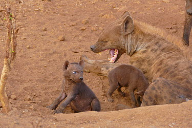 Spotted hyaena - South Africa resting,rested,rest,Terrestrial,ground,Juvenile,immature,child,children,baby,infants,infant,young,babies,environment,ecosystem,Habitat,mature,fully grown,Adult,grown up,adults,Grassland,savannahs,sava