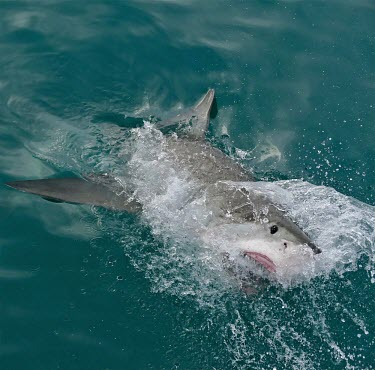 Great white shark - South Africa environment,ecosystem,Habitat,saltwater,Marine,saline,breach,Breaching,breached,action,movement,move,Moving,in action,in motion,motion,splashes,splash,Splashing,Aquatic,water,water body,Carnivorous,Ca