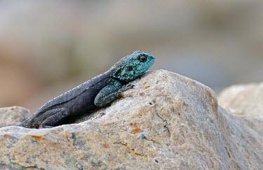 Southern rock agama - South Africa Southern rock agama,Animalia,Chordata,Reptilia,Squamata,Agamidae,Agama atra
