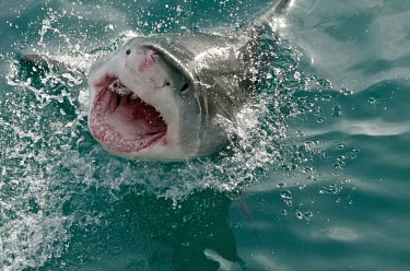Great white shark breaking water - South Africa water,swimmer,swimming,Underwater,breach,Breaching,breached,splashes,splash,Splashing,Aquatic,water body,action,movement,move,Moving,in action,in motion,motion,Sea,seas,environment,ecosystem,Habitat,O