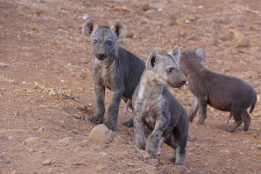 Spotted hyaena - South Africa Grassland,family,savannahs,savana,savannas,shrubland,savannah,Savanna,Terrestrial,ground,environment,ecosystem,Habitat,mature,fully grown,Adult,grown up,adults,Cub,cubs,Carnivorous,Carnivore,carnivore