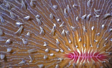 Mushroom coral - Indonesia coloration,Colouration,Close up,saltwater,Marine,saline,pink,violet,indigo,Purple,bright colour,bright,Colourful,brightly coloured,colorful,bright colours,Sea,seas,Ocean,oceans,oceanic,Neon,glowing,gl