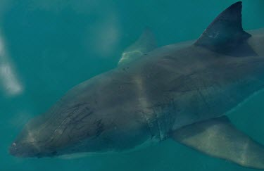 Great white shark - South Africa Ocean,oceans,oceanic,water,Sea,seas,environment,ecosystem,Habitat,Aquatic,water body,saltwater,Marine,saline,Carnivorous,Carnivore,carnivores,Underwater,shark,sharks,Great white shark,Carcharodon carc