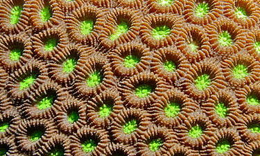 Honeycomb coral - Indonesia Lime,bright colour,bright,Colourful,brightly coloured,colorful,bright colours,Ocean,oceans,oceanic,coloration,Colouration,reef,Coral reef,tropics,tropic,reefs,corals,tropical,coral structure,coral,cor