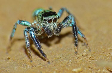 Jumping spider - Malaysia exoskeleton,Macro,macrophotography,blur,selective focus,blurry,depth of field,Shallow focus,blurred,soft focus,colours,color,colors,Colour,coloration,Colouration,shimmery,shimmering,sparkling,Iridesce