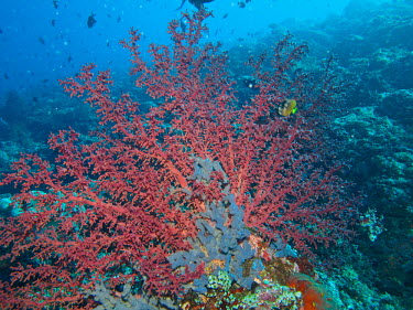 Cherry blossom coral - Indonesia bright colour,bright,Colourful,brightly coloured,colorful,bright colours,reef,Coral reef,tropics,tropic,reefs,corals,tropical,coral structure,coral,coral reefs,rouge,Red,scarlet,crimson,Macro,macropho