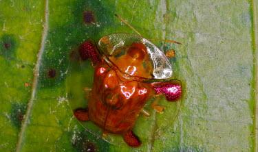 Golden tortoise beetle - Malaysia Macro,macrophotography,environment,ecosystem,Habitat,exoskeleton,shimmery,shimmering,sparkling,Iridescent,sparkly,glittering,glittery,bright colour,bright,Colourful,brightly coloured,colorful,bright c
