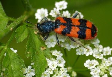 Soldier beetle - Italy Terrestrial,ground,coloration,Colouration,orange,peach,Black,Close up,environment,ecosystem,Habitat,Macro,macrophotography,patterns,patterned,Pattern,colours,color,colors,Colour,bright colour,bright,C