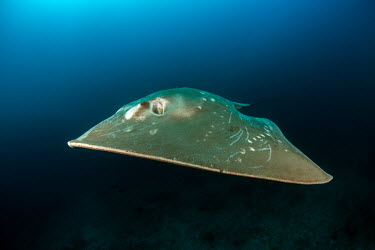 Smalleye stingray - Mozambique Sea,seas,swimmer,swimming,Aquatic,water,water body,action,movement,move,Moving,in action,in motion,motion,environment,ecosystem,Habitat,Underwater,saltwater,Marine,saline,Ocean,oceans,oceanic,Animalia
