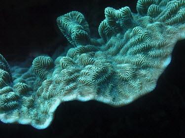 Merulina coral - Philippines reef,coral reef,coral,Animalia,Cnidaria,Anthozoa,Scleractinia,Merulinidae,Merulina,corals,invertebrate,invertebrates,marine invertebrate,marine invertebrates,marine,marine life,sea,sea life,ocean,ocea