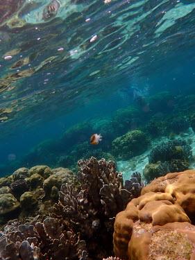 Blackvent damsel swimming over coral reef - Philippines reef,coral reef,coral,blackvent damsel,damsel fish,fish,Animalia,Chordata,Actinopterygii,Perciformes,Pomacentridae,Dischistodus melanotus,Cnidaria,Anthozoa,corals,invertebrate,invertebrates,marine inv