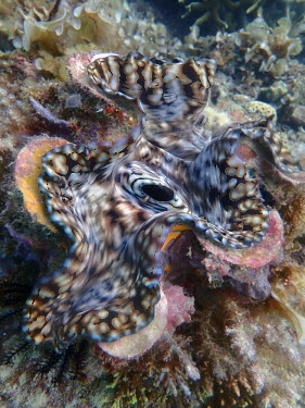 Giant clam - Philippines Giant clam,Tridacna gigas,Bivalvia,Bivalves,Mollusca,Mollusks,B�nitier G�ant,gigas,Coral reef,Appendix II,Tridacna,Tridacnidae,Pacific,Aquatic,Coastal,Animalia,Vulnerable,Indian,Photosynthetic,Veneroi