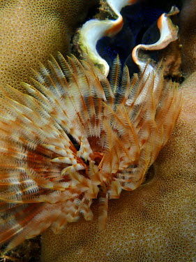 Feather worm - Philippines feather worm,feather duster worm,Animalia,Annelida,Polychaeta,Canalipalpata,Sabellida,Sabellidae,polychaete worm,polychaete,tube worm