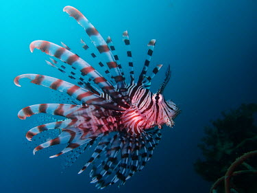 Common lionfish - Philippines Common lionfish,Pterois volitans,Actinopterygii,Ray-finned Fishes,Chordates,Chordata,Red lionfish,Lionfish,Coral reef,Aquatic,Carnivorous,Scorpaenidae,Ocean,Animalia,Pterois,Marine,Indian,Scorpaenifor
