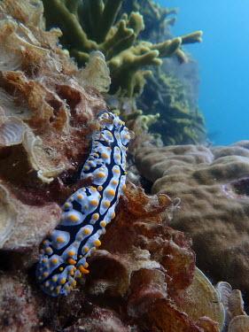 Nudibranch, Phyllidia exquisita - Philippines nudibranch,nudibranchs,gastropod,gastropods,mollusc,molluscs,reef,reef life,Animalia,Mollusca,Gastropoda,Nudibranchia,Phyllidiidae,Phyllidia exquisita,marine,marine life,sea,sea life,ocean,oceans,wate