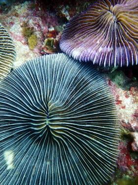 Mushroom coral - Philippines Mushroom coral,coral,coral reef,reef,Animalia,Cnidaria,Anthozoa,Scleractinia,Fungiidae,Fungia,invertebrate,invertebrates,marine invertebrate,marine invertebrates,marine,marine life,sea,sea life,ocean,