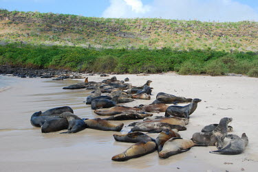 A colony of Galapagos sea lions on the beach - Galapagos Islands Galapagos sea lion,Zalophus wollebaeki,Galapagos sealion,Carnivores,Carnivora,Otariidae,Eared Seals,Chordates,Chordata,Mammalia,Mammals,Zalophus californianus wollebaeki,wollebaeki,Coastal,South Ameri
