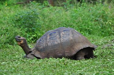 Galapagos giant tortoise - Galapagos Islands Galapagos giant tortoise,Chelonoidis nigra,Reptilia,Reptiles,Chordates,Chordata,Turtles,Testudines,Tortoises,Testudinidae,Geochelone spp.,Testudo nigra,Geochelone nigra,Tortuga Gigante De Las Gal�pago