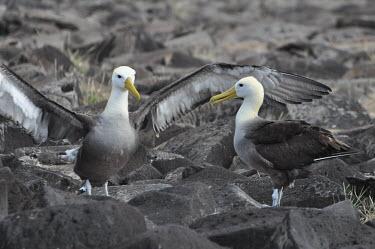 Waved albatross - Galapagos Islands Waved albatross,Phoebastria irrorata,Albatrosses,Diomedeidae,Aves,Birds,Procellariiformes,Albatrosses, Petrels,Chordates,Chordata,Ciconiiformes,Herons Ibises Storks and Vultures,Diomedea irrorata,Sout