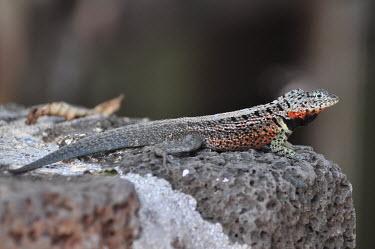 Galapagos lava lizard - Galapagos Islands Galapagos lava lizard,lava lizard,Animalia Chordata Reptilia Squamata Tropiduridae,Microlophus albemarlensis,Galapagos