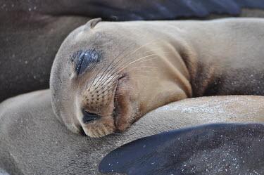 Galapagos sea lions asleep on the beach - Galapagos Islands Galapagos sea lion,Zalophus wollebaeki,Galapagos sealion,Carnivores,Carnivora,Otariidae,Eared Seals,Chordates,Chordata,Mammalia,Mammals,Zalophus californianus wollebaeki,wollebaeki,Coastal,South Ameri