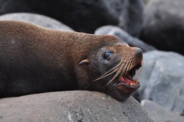Galapagos sea lion - Galapagos Islands Galapagos sea lion,Zalophus wollebaeki,Galapagos sealion,Carnivores,Carnivora,Otariidae,Eared Seals,Chordates,Chordata,Mammalia,Mammals,Zalophus californianus wollebaeki,wollebaeki,Coastal,South Ameri
