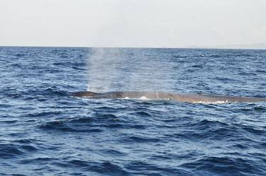 Whale breaking water surface - Galapagos Islands whale,whales,marine mammal,cetacean,cetaceans,marine mammals,aquatic mammals,aquatic mammal,Animalia,Chordata,Mammalia,Cetartiodactyla,Balaenopteridae,Balaenoptera