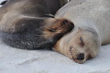 Galapagos sea lion snoozing on the beach - Galapagos Islands Galapagos sea lion,Zalophus wollebaeki,Galapagos sealion,Carnivores,Carnivora,Otariidae,Eared Seals,Chordates,Chordata,Mammalia,Mammals,Zalophus californianus wollebaeki,wollebaeki,Coastal,South Ameri