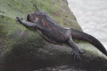 Galapagos marine iguana grazing on marine algae - Galapagos Islands Galapagos marine iguana,Amblyrhynchus cristatus,Squamata,Lizards and Snakes,Iguanidae,Chordates,Chordata,Reptilia,Reptiles,sea iguana,Amblyrhynche � cr�te,Iguana Marina,Iguane marin,Terrestrial,Aquati